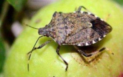 Cimice Asiatica. Come fare per tenere l'insetto fuori dalle case? – La risposta dell'esperto